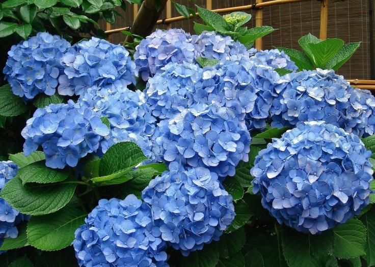 hydrangea-blue.jpg